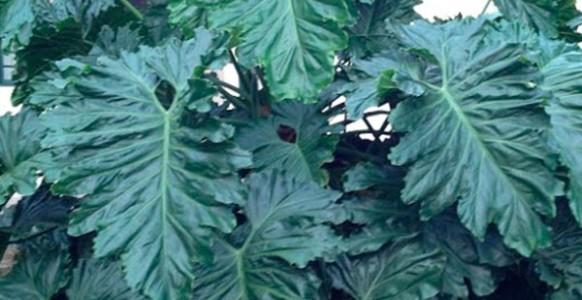 Philodendron-undulatum