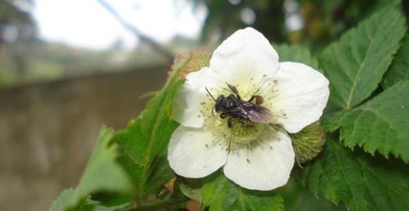 Rubus-rosifolius_flor2